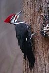 Pileatedwoodpecker3_1